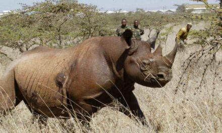 Muere el último rinoceronte negro en Kenia