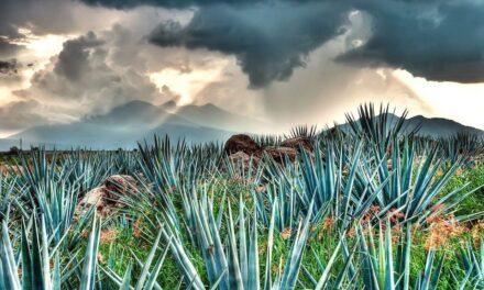 Con éxito se está llevando a cabo  el proyecto de agave en Acatlán