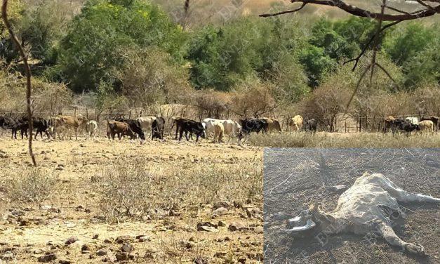 Sequía afecta la ganadería en la Mixteca
