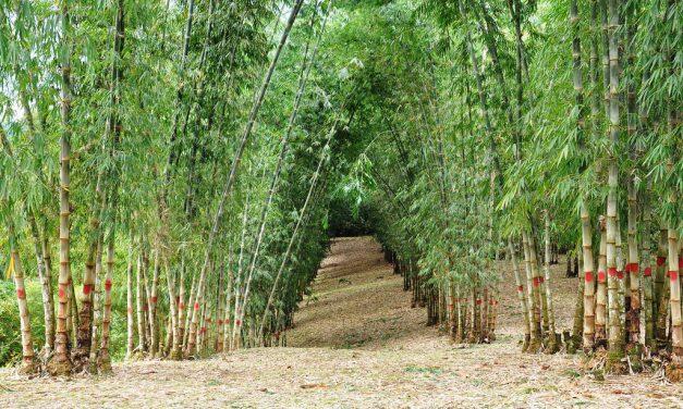 Cultivo de bambú, desarrollo económico y ambiental de México