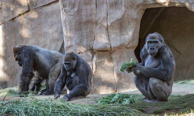 Al menos 13 gorilas de un zoológico dieron positivo a Covid-19