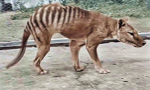 Le ponen color a video del último tigre de Tasmania