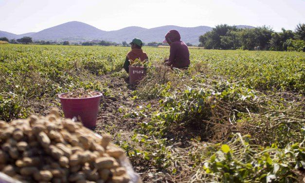 Tlapanalá, tierra fértil para la producción del cacahuate